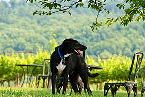 Fall Rambles in the Vineyards With Your Dog