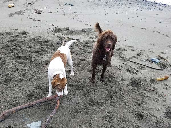 Dogs on the beach in Mendocino County
