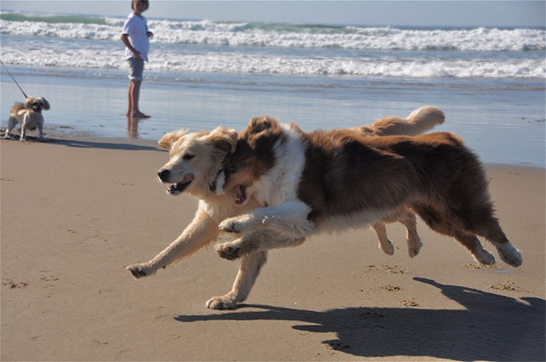 Dogs running on the beach in Oregon