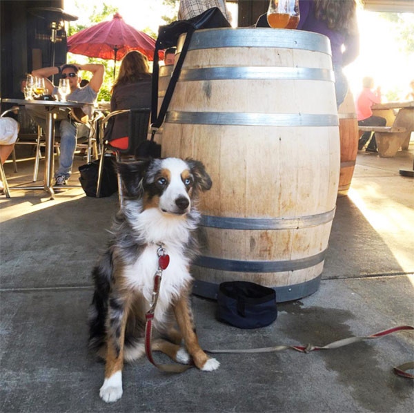 Oscar at Amador Brewing Company