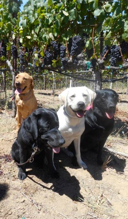 Party dogs in vineyard
